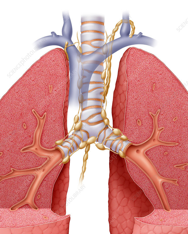 Lung Lymph Nodes