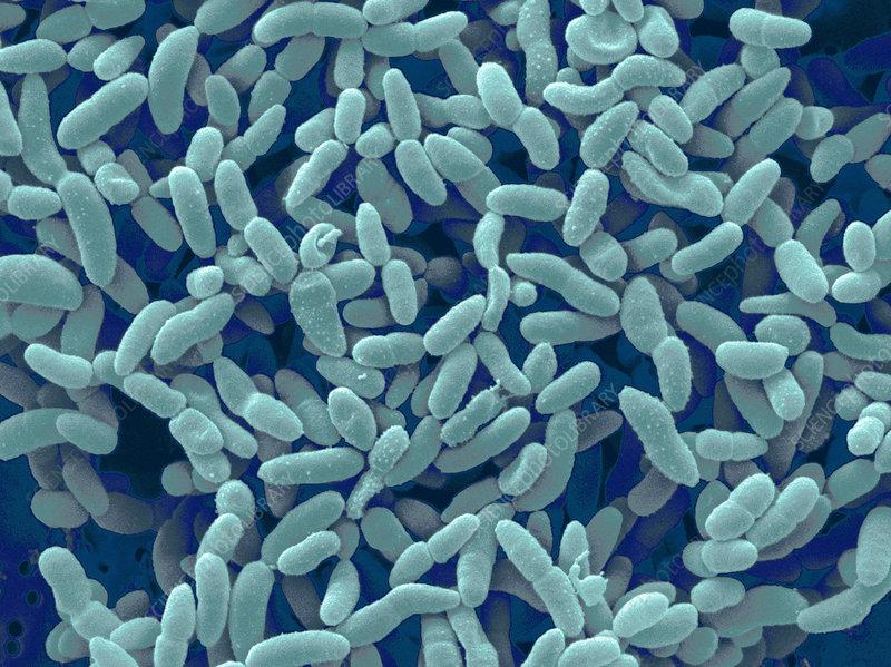 Acetobacter aceti bacteria