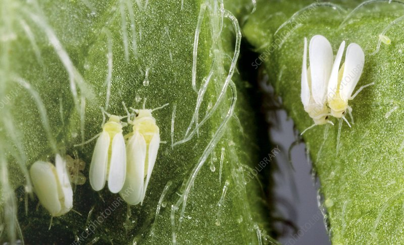 Tobacco whiteflies