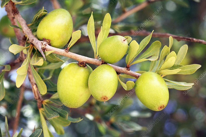 Argan tree nuts