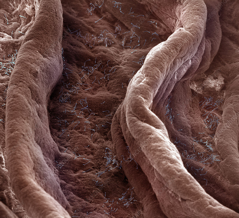 Surface of Human Vagina
