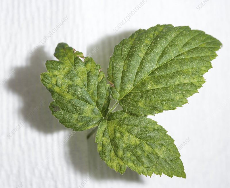 Diseased black raspberry leaves