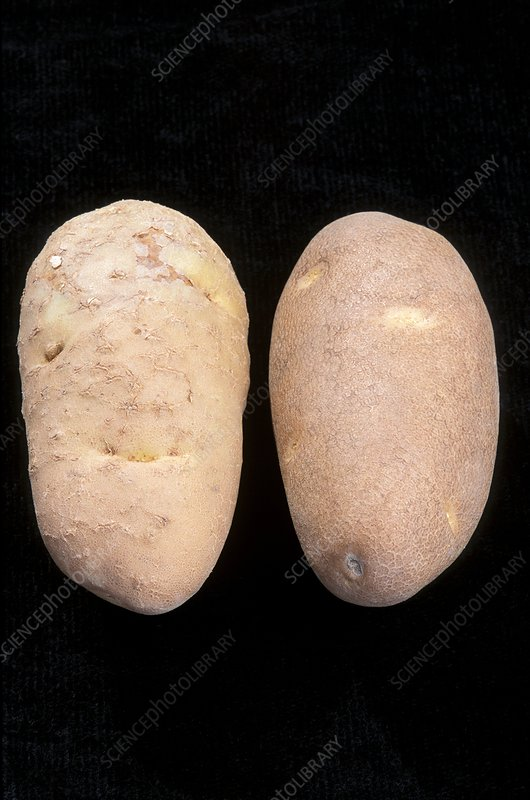 Diseased and normal potatoes