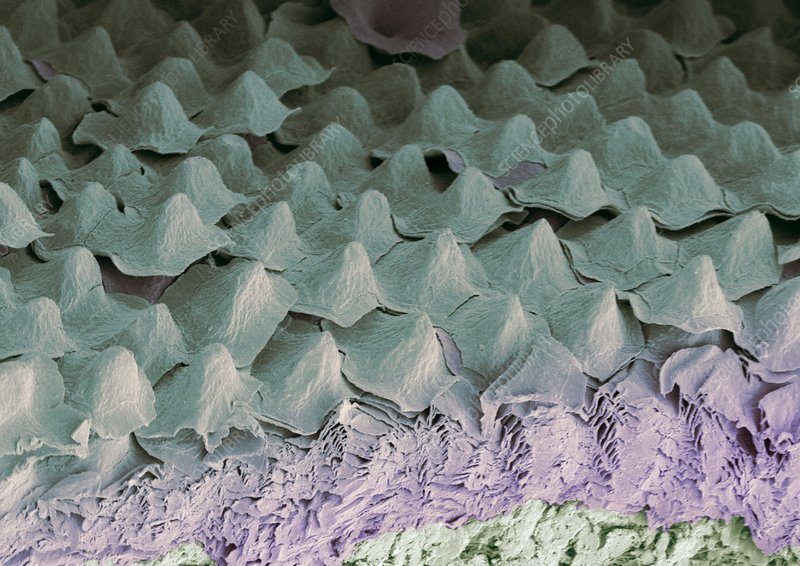 Budgerigar throat, SEM