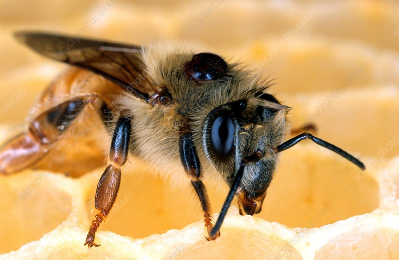 Bee with Varroa mite on its back