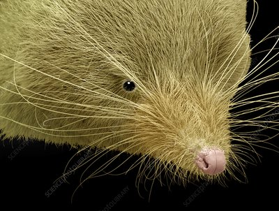 Face of a common shrew, SEM
