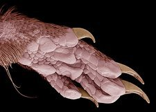 Hindfoot of a common shrew, SEM