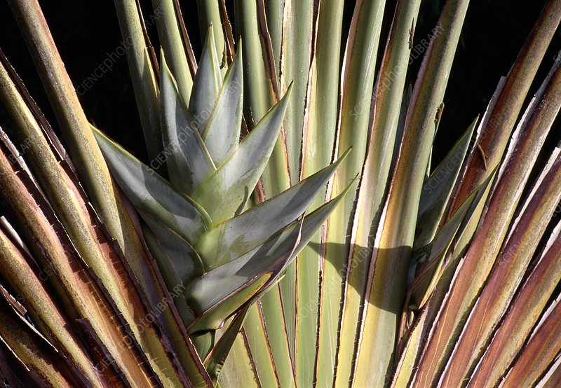 Ravenala madagascariensis fruit