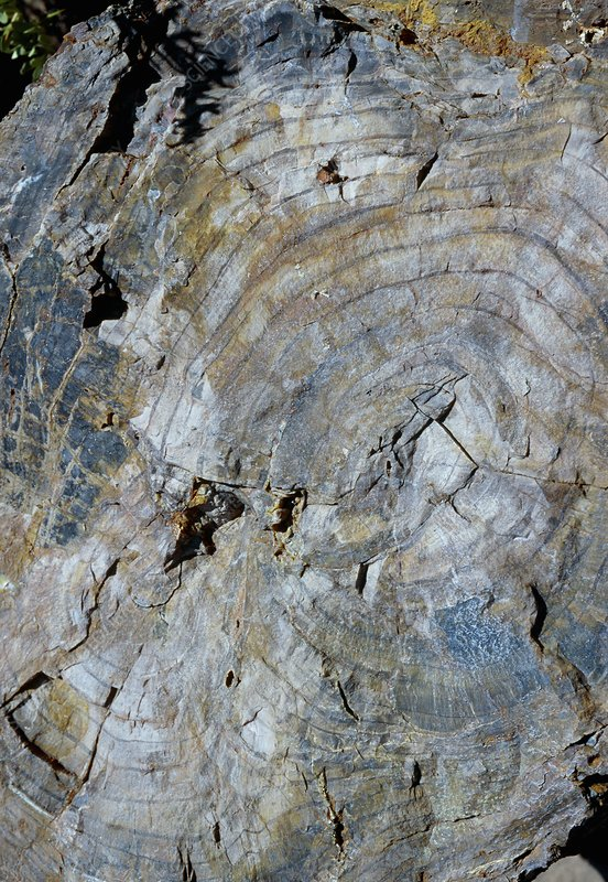 Fossilised wood