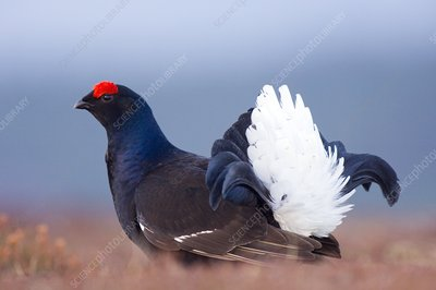 Male black grouse displaying
