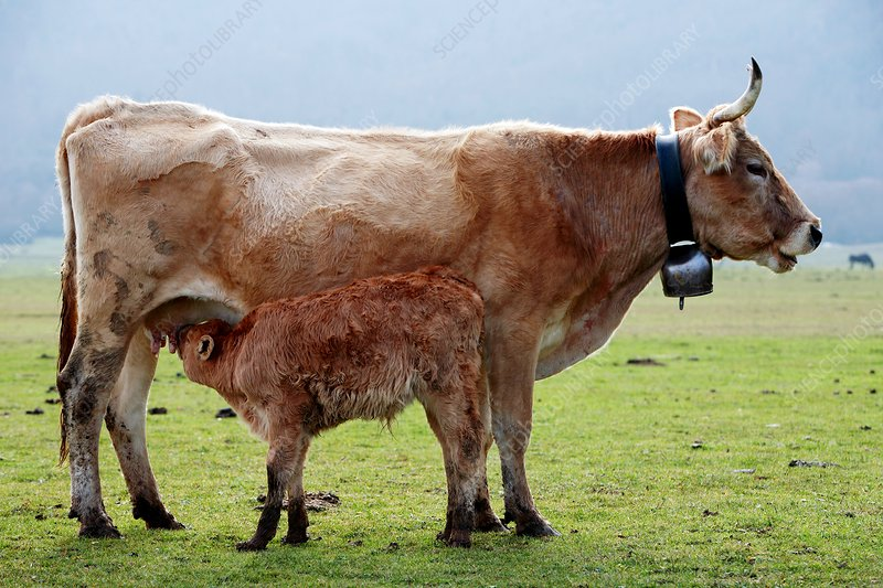 Calf suckling on its mother