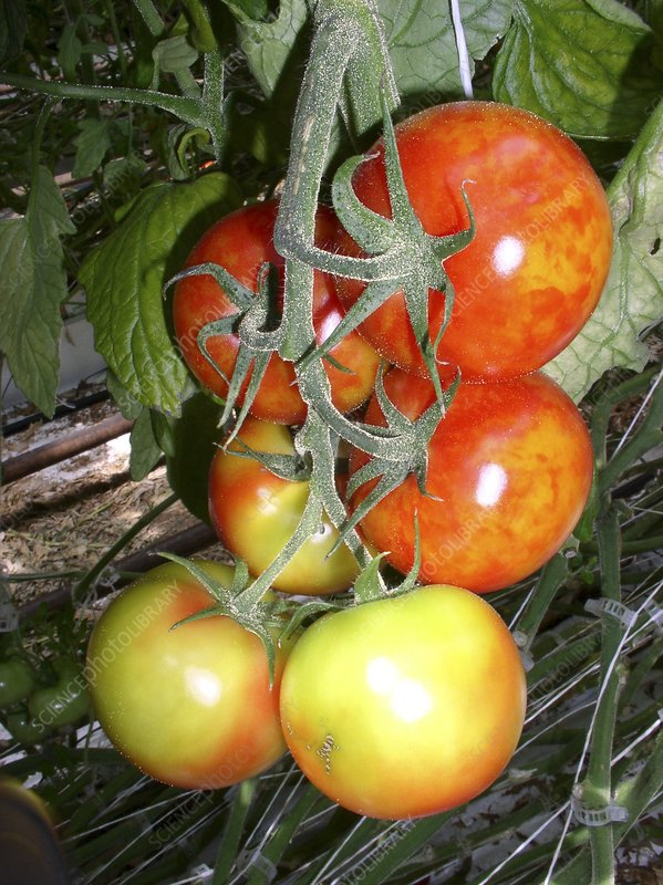 Tomato plant infected with mosaic virus