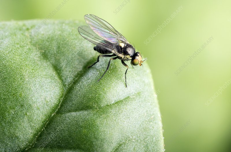 Adult leafminer fly
