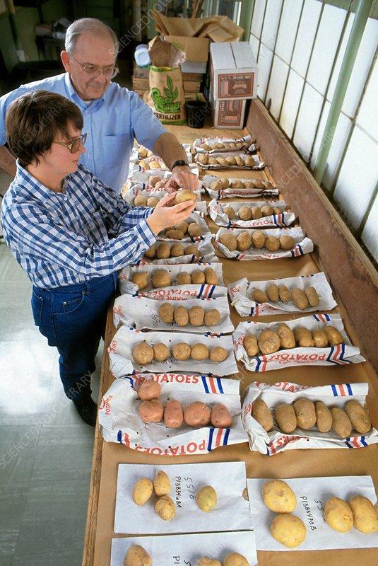 Genetically modified potatoes