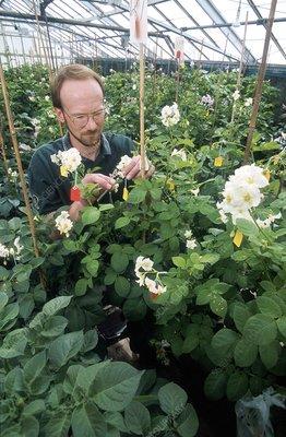Potato plant cross breeding