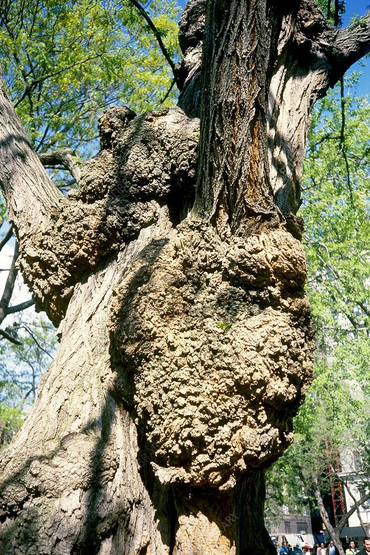 Tree With Crown Gall Disease