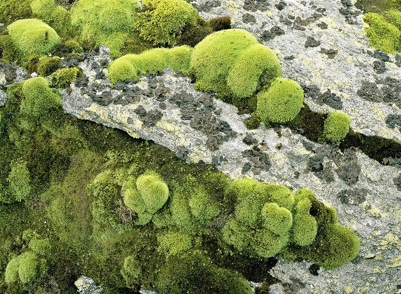 White Cushion Moss