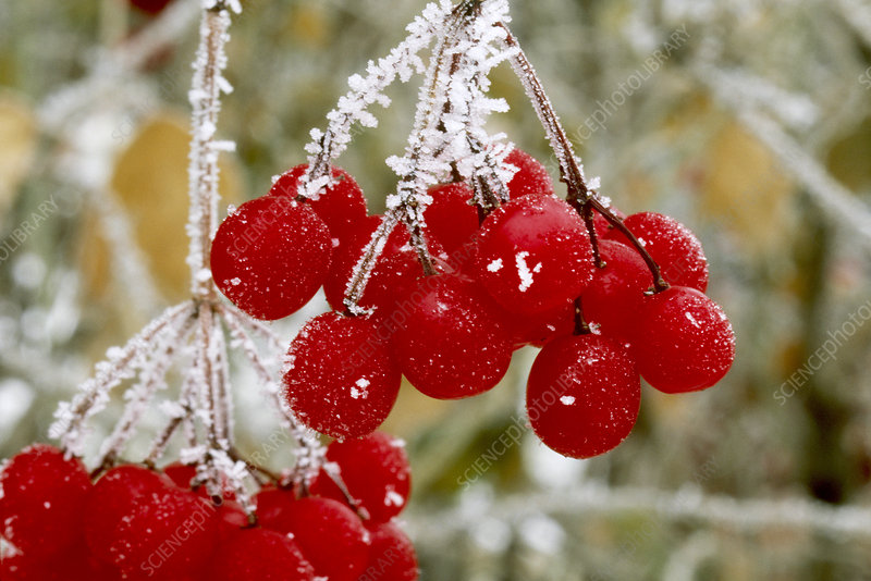 Highbush Cranberries with Frost