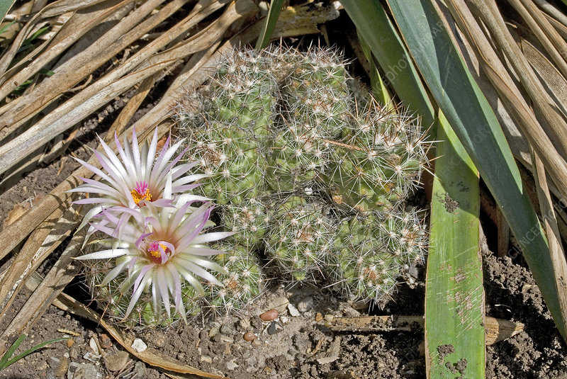 'Beehive nipple cactus, Coryphantha vivipara'