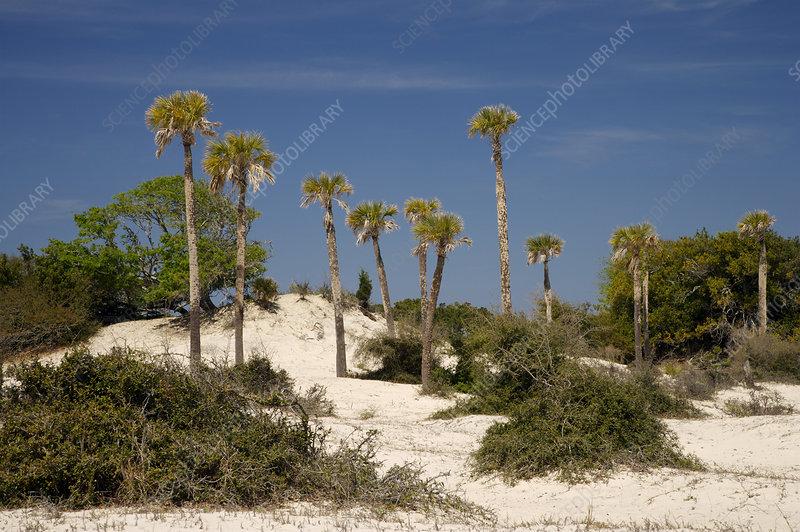 Palm Trees on Dunes