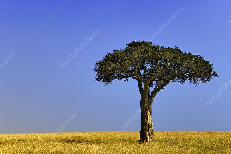 Acacia Tree on Grassy Plains