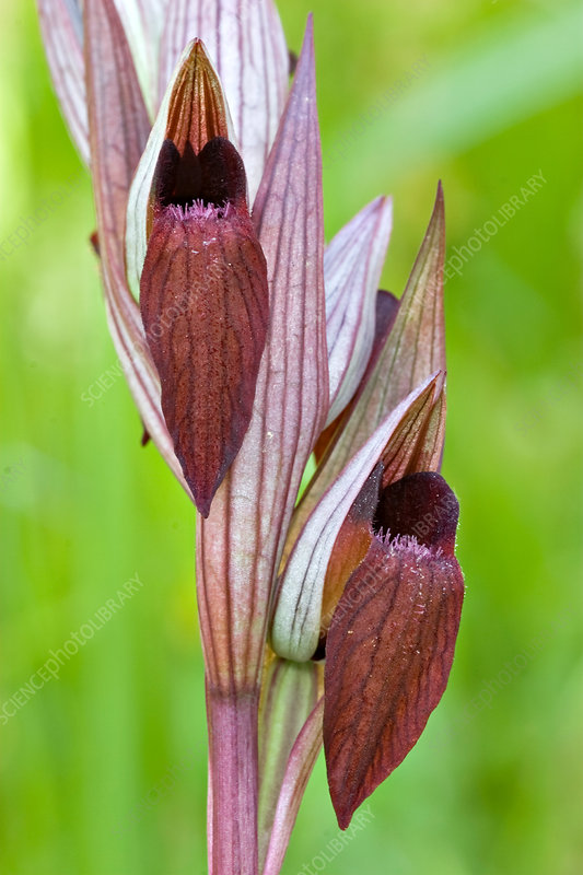 Oriental Tongue Orchid