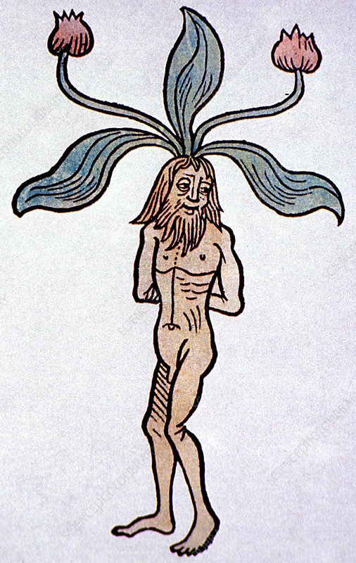 Historical Mandrake illustration