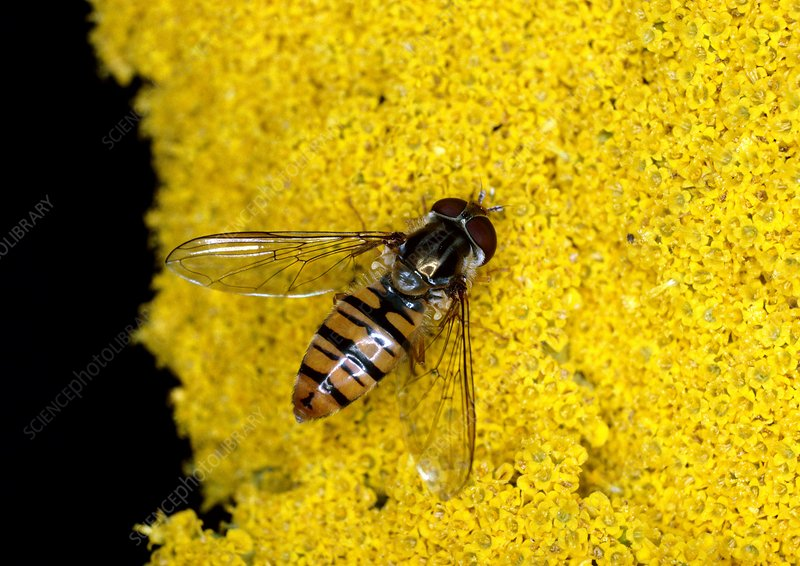Hover fly on a flower