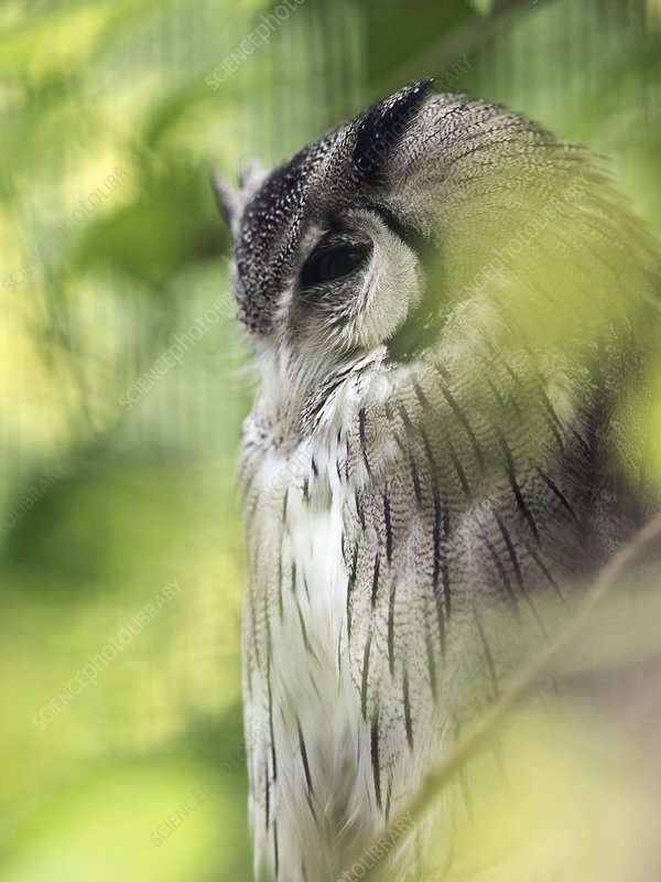 Northern white-faced scops owl