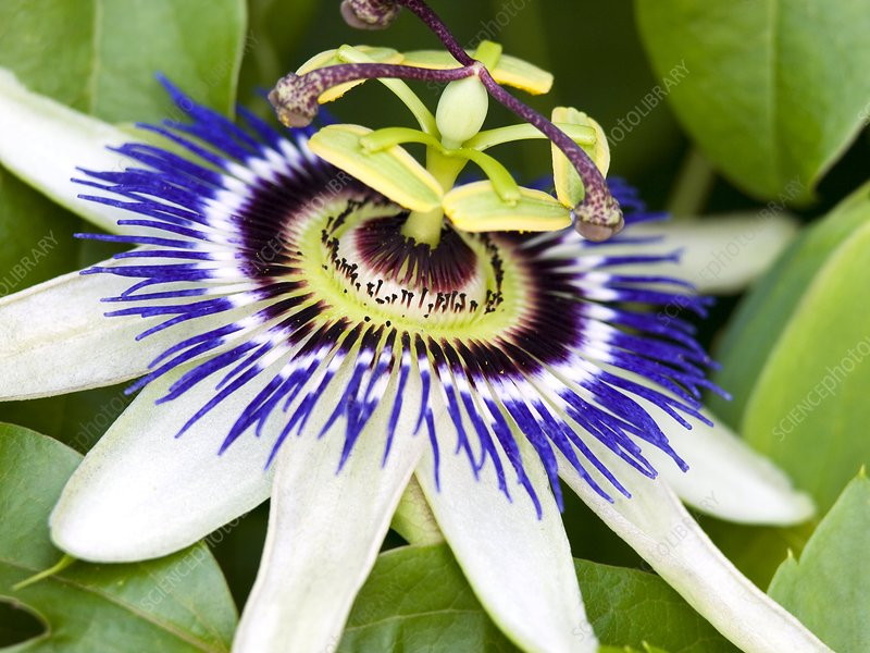 Passion flower (Passiflora caerulea)