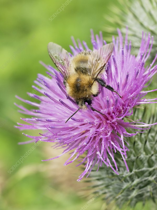 Bumblebee feeding on a spear thistle