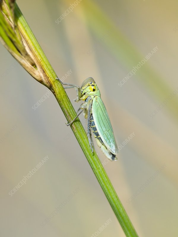 Green leafhopper on a plant stem