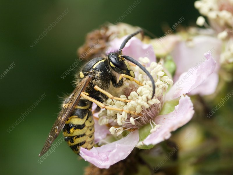Common wasp feeding on a flower