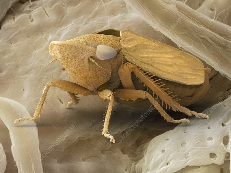 Common froghopper, SEM