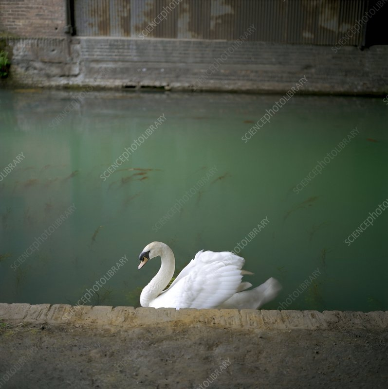 Mute swan on a polluted canal