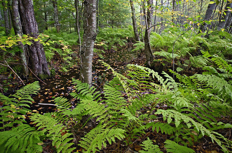 'Ferns, Maine'