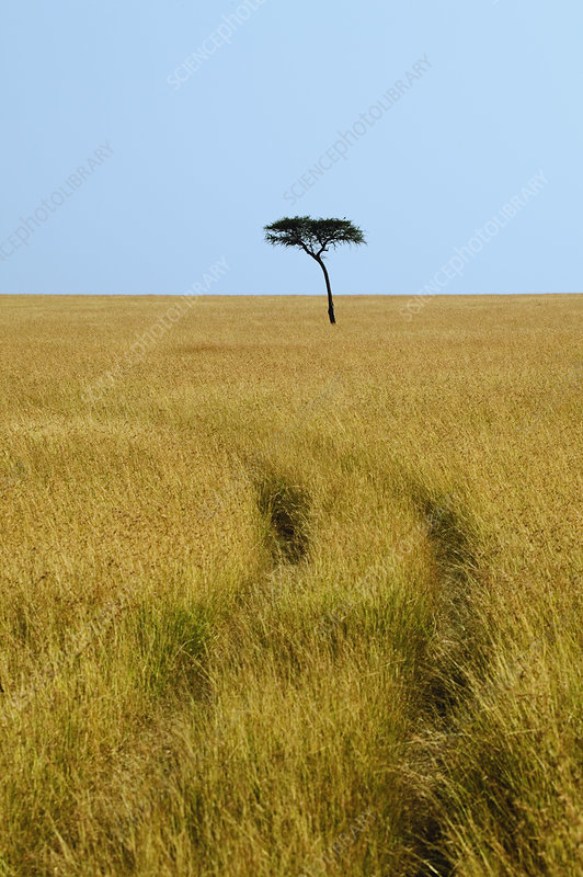 Acacia Tree and Tire Tracks
