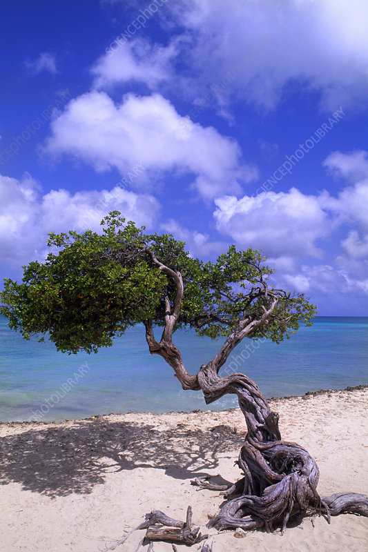 'Divi Tree, Aruba'
