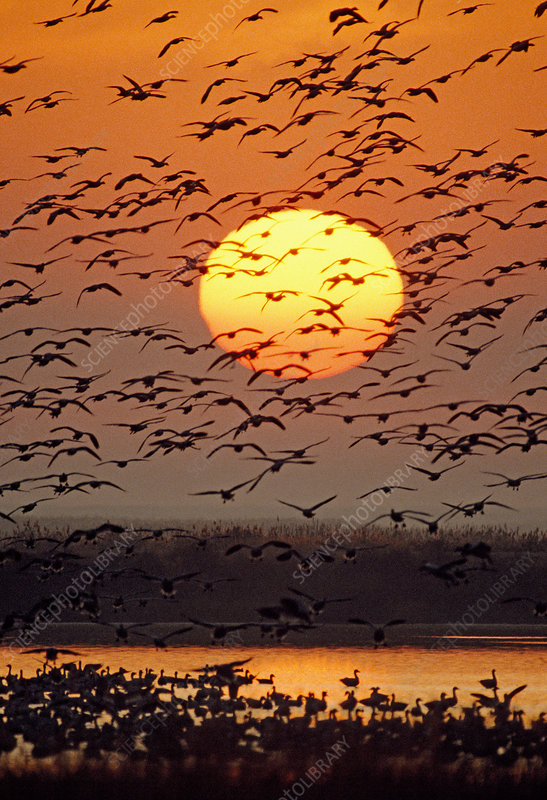 Flock of Snow Geese in flight at sunrise