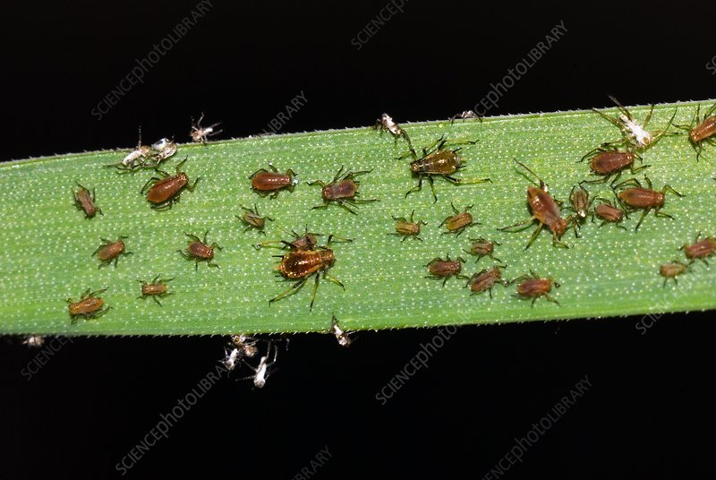 Grain aphids on wheat leaf