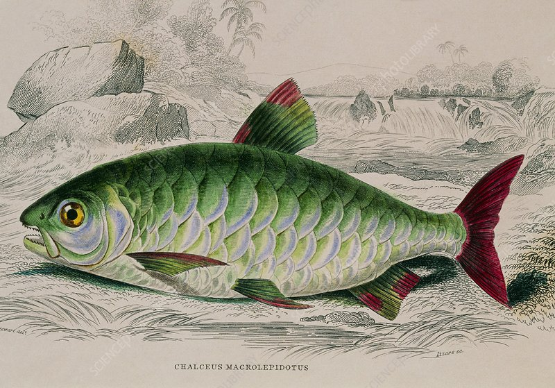 Chalceus fish, 19th century artwork