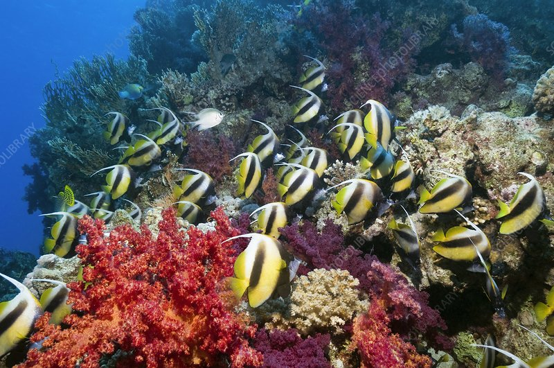 Red Sea bannerfish and soft corals