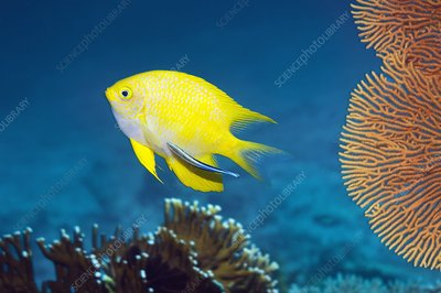 Golden damselfish and cleaner wrasse