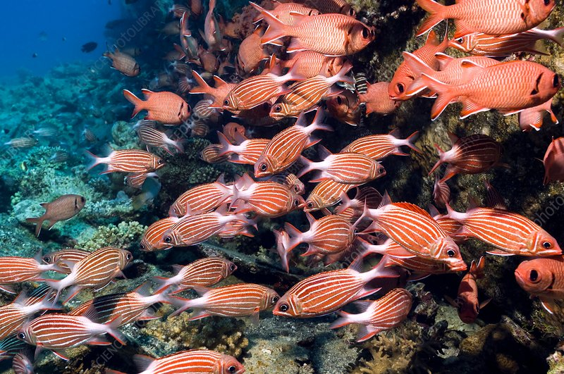Crown squirrelfish and red soldierfish