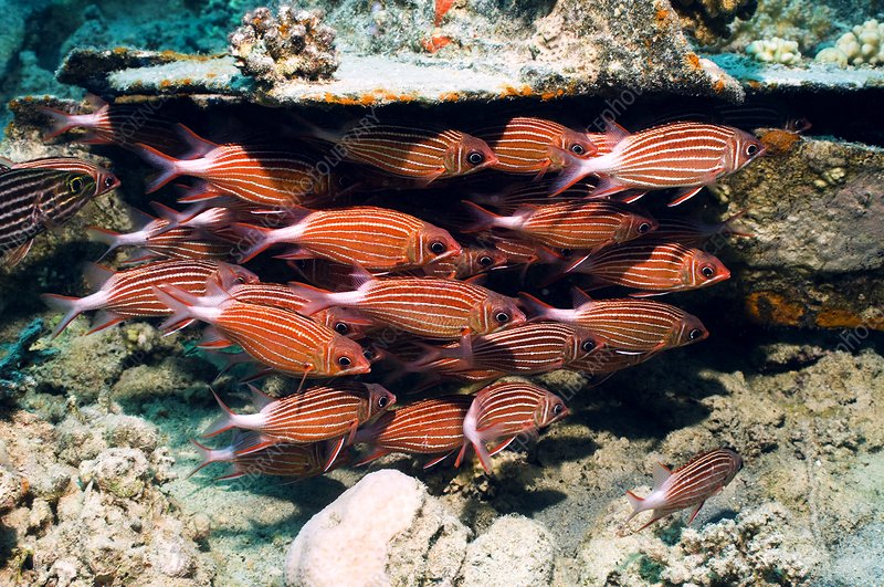 Crown squirrelfish