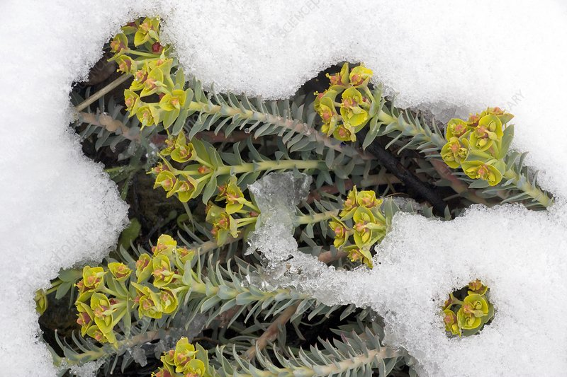 Cyprus spurge (Euphorbia veneris) in snow