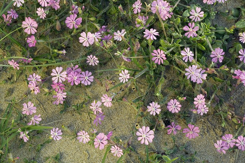 Pink campion flowers (Silene colorata)