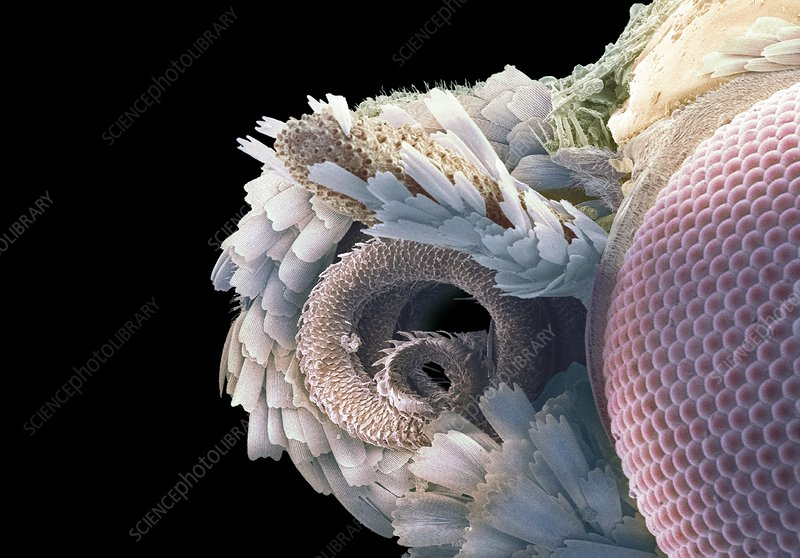 Moth proboscis and eye, SEM