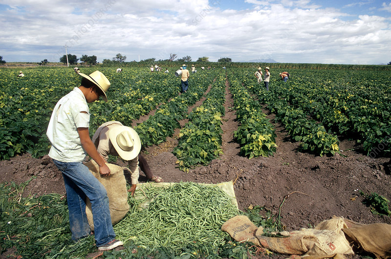 'Harvesting Vegetables, Mexico'