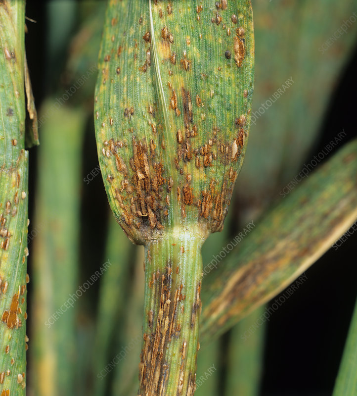 Black stem rust (Puccinia graminis)
